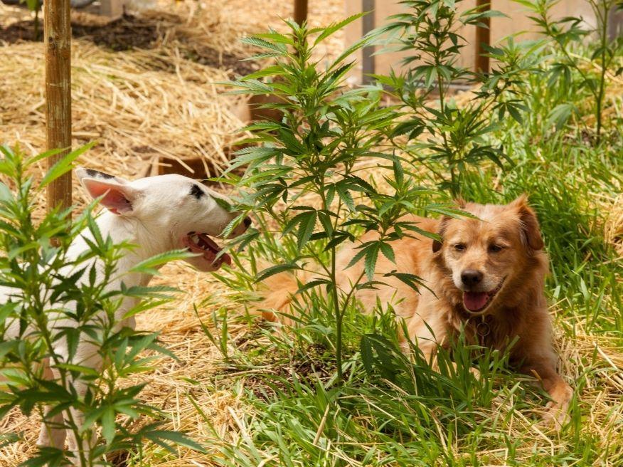 dogs in cannabis field